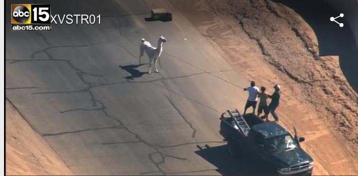 Llama-police